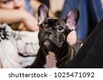 Small photo of puppy of a French bulldog begging piteously