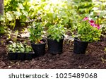 flowers in pot before planting... | Shutterstock . vector #1025489068