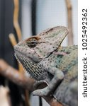 young veiled chameleon | Shutterstock . vector #1025492362