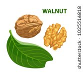 vector walnut with leaf... | Shutterstock .eps vector #1025516818