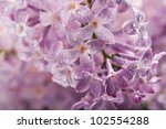 Branch Of Lilac On Background