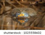 Yellow Bellied Toad  Bombina...
