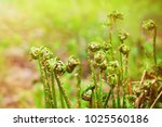 young fern in spring in the... | Shutterstock . vector #1025560186