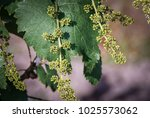 grapevine with baby grapes and...