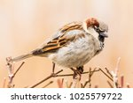 male or female house sparrow or ... | Shutterstock . vector #1025579722