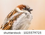 male or female house sparrow or ... | Shutterstock . vector #1025579725
