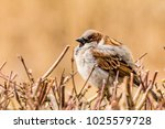 male or female house sparrow or ... | Shutterstock . vector #1025579728