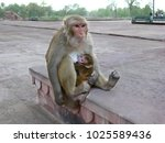 rhesus monkey siting on a stone ... | Shutterstock . vector #1025589436