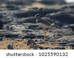 myna with the yellow beak and... | Shutterstock . vector #1025590132