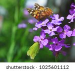 Small photo of The butterflies painted lady (Vanessa cardui) and common brimstone (Gonepteryx rhamni) on Purple flowers of Hesperis