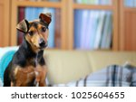 Stock photo pet dog jack russell terrier 1025604655
