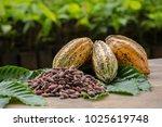 raw cocoa beans and cocoa pod... | Shutterstock . vector #1025619748