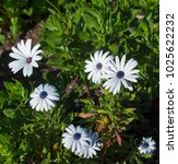 Small photo of A small clump of African daisy Osteospermum plants from the Asteraceae species adds color to the winter landscape with white pink and purple flowers.