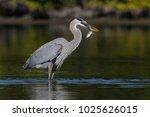 great blue heron  ardea... | Shutterstock . vector #1025626015
