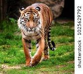 The Running Sumatran Tiger  ...