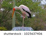 a large yellow billed stork ...   Shutterstock . vector #1025637406