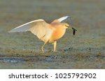 squacco heron  ardeola... | Shutterstock . vector #1025792902