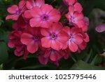 phlox. polemoniaceae. beautiful ... | Shutterstock . vector #1025795446