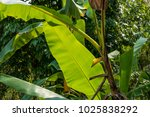 green banana leaves  chiang rai ... | Shutterstock . vector #1025838292