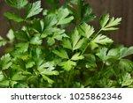 fresh italian parsley leafs | Shutterstock . vector #1025862346
