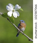 Small photo of Male Eastern Bluebird on Branch with American Dogwood Flower