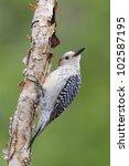 Red Bellied Woodpecker On...
