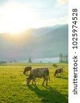cows grazing on a green lush... | Shutterstock . vector #1025974528