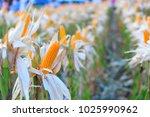 corn fields for natural... | Shutterstock . vector #1025990962