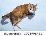 top view of ginger cat looking...   Shutterstock . vector #1025996482