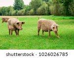 Farmland With Pigs. Pasturelan...