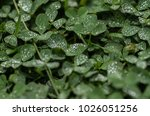 Tiny Raindrops On Clover Leafs