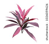 red tropical plant. cordyline... | Shutterstock .eps vector #1026059626