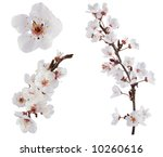 Plum Tree Flowers. Design...