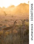 Small photo of herd of Common impala, Aepyceros melampus, wandering and grazing through the tall dry grass