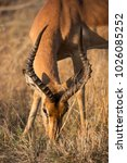 Small photo of closeup of male Common impala, Aepyceros melampus, standing on the grass field near woodlands and bushes