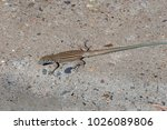 New Mexican Whiptail Lizard...
