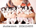 Stock photo six puppies siberian husky litter dogs in the hands of the breeder little puppies 1026114355