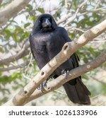 Jungle Crow On Tree Branch