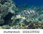 The Hawksbill Sea Turtle ...