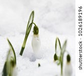 Small photo of A snowdrop (Galanthus) flower with water drops in a snowy garden in early spring