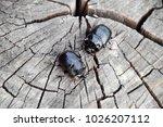 a rhinoceros beetle on a cut of ... | Shutterstock . vector #1026207112