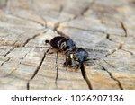 a rhinoceros beetle on a cut of ... | Shutterstock . vector #1026207136