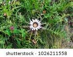 white wild danger flower macro... | Shutterstock . vector #1026211558