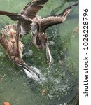 Pelicans Fighting For Food Ove...