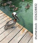 Cute Pelican Standing On A Woo...
