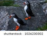 atlantic puffin birds couple on ... | Shutterstock . vector #1026230302