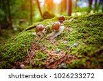 Stock photo helix pomatia also roman snail burgundy snail edible snail or escargot is a species of large 1026233272