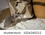 A wild brown house mouse, Mus musculus, covered with flour and standing in front of a chewed brown bag. The rodent is standing on a mound of flour with a jar of peanut butter in the kitchen cabinet.