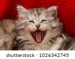 Stock photo headshot of roaring maine coon kitten showing teeths 1026342745