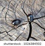 a rhinoceros beetle on a cut of ... | Shutterstock . vector #1026384502